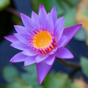 Lotus flower. ©robertmoses